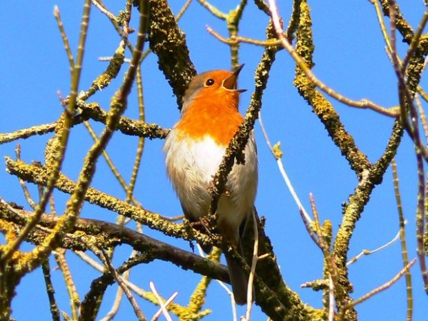 A_robin_in_a_tree,_Swindon_-_geograph.org.uk_-_333092