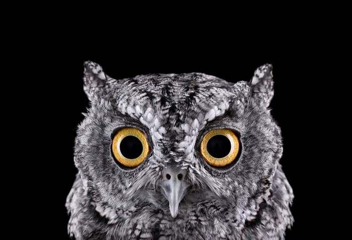 Impressive-Owl-Portraits-by-Brad-Wilson-1
